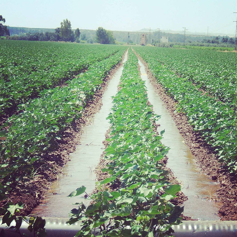 finca agricola de algodón